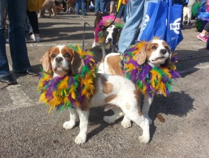 These two beautiful Cavalier King Charles Spaniels are Copper and Chewy. They belong to Young-Williams Animal Center board member Brittany Bailey, and they are ready for the parade with their purple, green and gold feather boas.