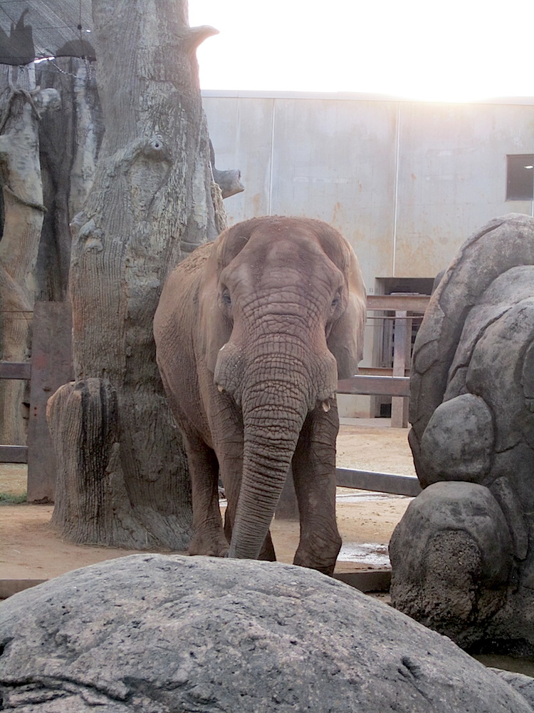 A trip to the zoo is not complete without a visit with the elephants.